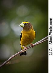 An Evening Grosbeak - A beautiful Evening Grosbeak on a...