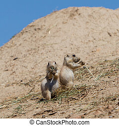 Two young black-tailed prairie marmot (Cynomys Ludovicianus)...