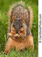 Fox Squirrel Eating A Shelled Peanut - Eastern Fox Squirrel...