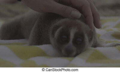 Slow loris on the beach towel. - Slow loris monkey lying on...