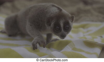 Slow loris on the beach towel. - Slow loris sitting on the...
