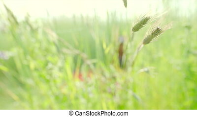 Ears of rye swaying during sunset - Rye ears swaying in the...