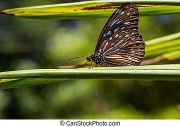 Butterfly - Blue Glassy Tiger with bokeh Backgrounds