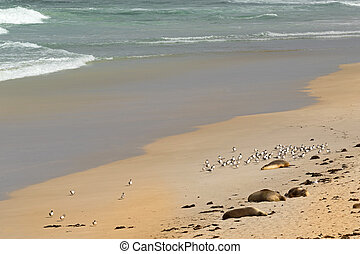 Australian Sea Lions sunbathing with Lesser Crested Terns...