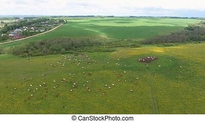Flying over green field with grazing cows - Aerial view of...