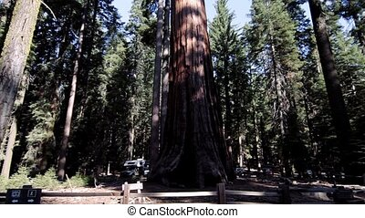 Huge Trees In Yosemite Nationalpark, United States - Graded...