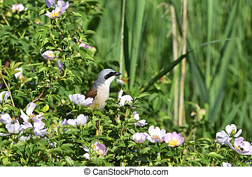 Red-backed shrike in a rose bush