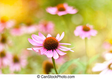 Coneflowers or purple coneflowers - Red coneflowers or...