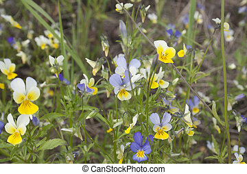 wild pansy in grass