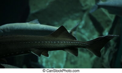 Various kinds of fish swim in large aquarium. They slowly...