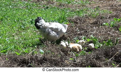 chicken hen with cute little chickens. Farmers poultry is...