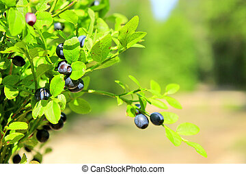 bilberry-bush with berries in the forest - bilberry-bush...