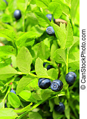 bilberry on the bush - bilberry-bush with ripe berries in...