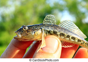 Gobio gobio in the hand - gudgeon caught in the human hand