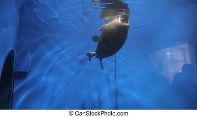 Two black fat seals swim underwater in big pool.