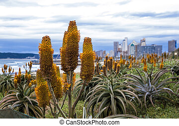 Beautiful Aloes Growing on Dunes of Durban Shoreline