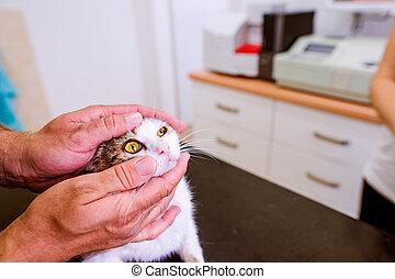 Veterinarian examining cat with sore eye at Veterinary clinic.