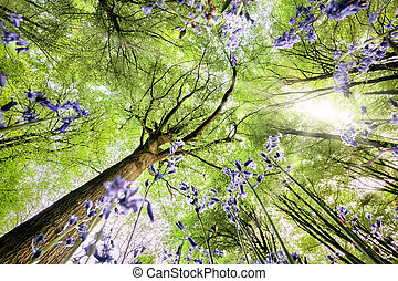 Bluebells from worms eye view - Bluebells viewed from a...