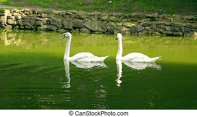 White swans in summer sunny day on Lake, Ukraine