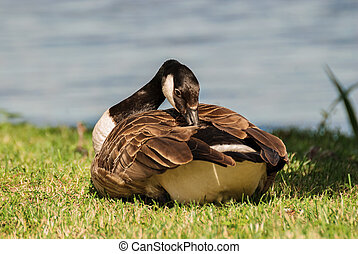 The wild goose. - Wild goose preening its feathers on the...