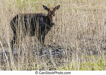 Young Deer In The Mud At Oostvaardersplassen