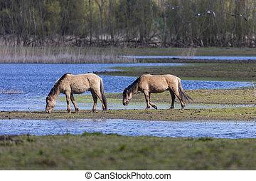 Wild Horses At Oostvaardersplassen The Netherlands