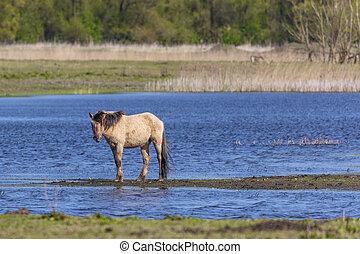 Wild Horse In The Wetlands At Oostvaardersplassen