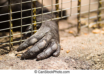 Imprisoned gorilla - Hand of an imprisoned gorilla through...