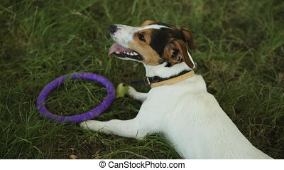 Dog lies on the grass with a toy - Small dog breed Jack...