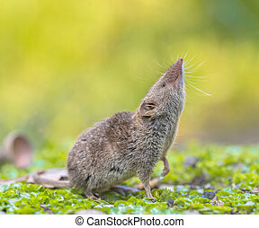 Crocidura Shrew pointing nose up - Greater White-toothed...