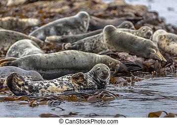 Group Atlantic Grey Seal Halichoerus grypus resting on rocks...