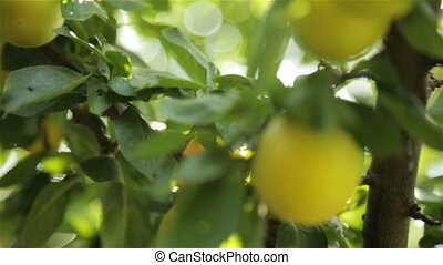 Large yellow plums in the garden