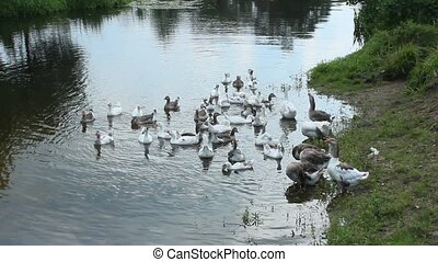hatch of white geese swimming on th