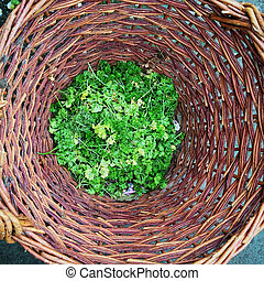 Basket with garden waste for composting - Wilted parsley in...