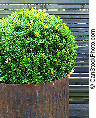 Trimmed myrtle tree in a rusty iron pot Vintage style garden...