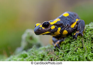 Poisonous Fire salamander in its natural habitat - Toxic...