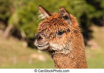 brown suri alpaca head - isolated brown suri alpaca head