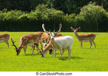 New Forest wild deer red and albino white near Lyndhurst...