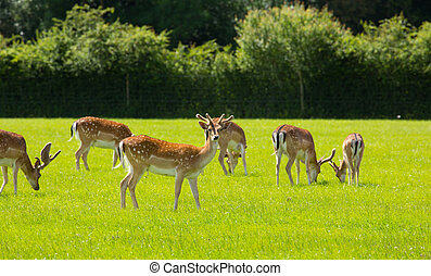 English wild deer with antlers New Forest England UK in a...