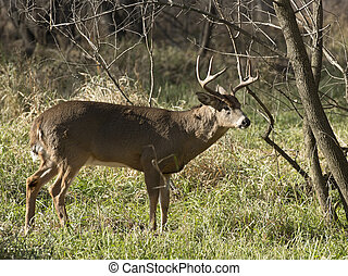 Whitetail Buck - A mature Whitetail Buck in the late autumn