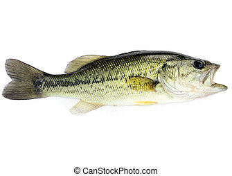 Largemouth Bass - A young  fresh water largemouth bass.