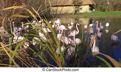 A flock of pink flamingos and reflection in water