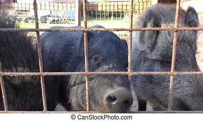 Three young dirty pigs behind the metal fence and shed