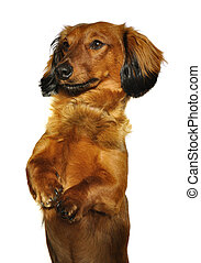 Red Long-Haired Dachshund Begging Isolated on White