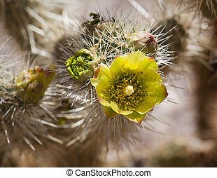 Barrel Cactus plant in Anza Borrego desert - Bright yellow...