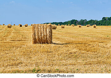 Harvested field with wheat