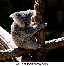 Koala Bear cuddling on a branch - Australian Koala bear...