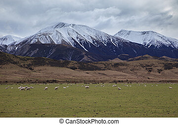 merino sheep in rural farm new zealand - merino sheep in...