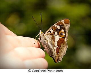 Apatura iris - Beautiful butterfly sitting on hand