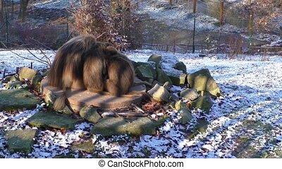 Monkeys in the zoo in winter, Czech Republic